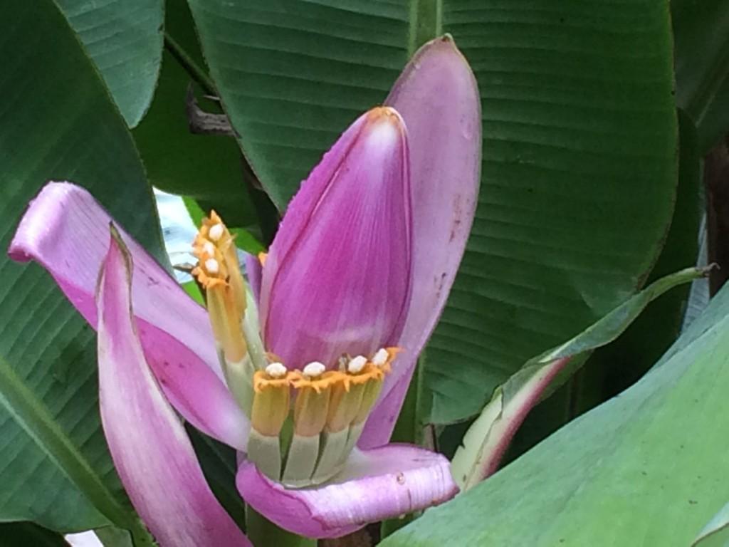 j4-fleur-de-bananier